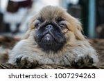closeup shot of pekingese or... | Shutterstock . vector #1007294263