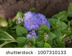 Small photo of Violet ageratum blossom