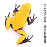 Small photo of Adelphobates galactonotus, yellow splash backed or splashback poison dart frog. A poisonous rain forest animal from the Amazon rainforest in Brazil. Isolated on a white background.