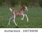Nice little foal running on pasture - stock photo