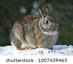 Stock photo snowshoe hare rabbit lepus americanus or varying hare on snow in winter 1007439463