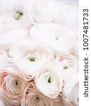 Small photo of Beautiful tender pink Ranunculus flowers texture, close up view