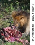 Small photo of Lion with Wildebeest kill,Masai Mara, Kenya