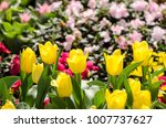 group of yellow tulips in the... | Shutterstock . vector #1007737627