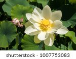 beautiful lotus and waterlily... | Shutterstock . vector #1007753083