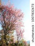 Small photo of Wild Himalayan Cherry, Prunus cerasoides, Rosaceae, cerasoides