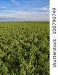Field of alfalfa growing in the agricultural area of central california - stock photo