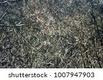 impassable thicket. frequent... | Shutterstock . vector #1007947903