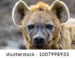 closeup of a spotted hyena | Shutterstock . vector #1007998933