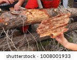 Small photo of Pine timber damaged by bark beetles. Forestry pest control
