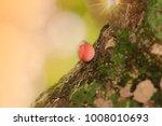 Small photo of Cookeina tricholoma Cookeina tricholoma