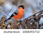 eurasian  common  bullfinch ... | Shutterstock . vector #1008392713