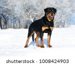 young purebred rottweiler... | Shutterstock . vector #1008424903