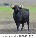 the wild water buffalo with...   Shutterstock . vector #1008481723