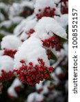 Small photo of Berries Of Acuminate Cotoneaster Plant Covered In Snow
