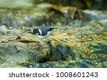 Small photo of Slaty-backed Forktail; Enicurus schistaceus