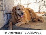beautiful golden retriever - stock photo