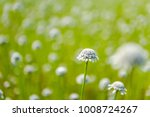 Small photo of Close up blooming white flower of Eriocaulaceae plant(Eriocaulon), poales against green natural field background outdoor