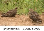 Small photo of Pair of bouble-banded sandgrouse in the African savannah