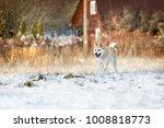 portrait of purebred west...   Shutterstock . vector #1008818773
