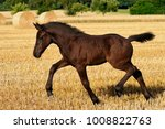 Small photo of A female foal, German heavy warmblood horse baroque type, goes at a trot in a stubble field with straw bales, Germany