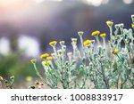 spring chamomiles flowers. | Shutterstock . vector #1008833917