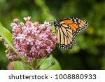 monarch butterfly feeding on... | Shutterstock . vector #1008880933