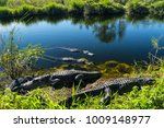 USA, Florida, Herd of crocodiles enjoying the sun in everglades national park