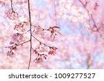 beautiful wild himalayan cherry ... | Shutterstock . vector #1009277527