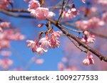 beautiful wild himalayan cherry ... | Shutterstock . vector #1009277533