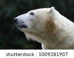 polar bear close up   Shutterstock . vector #1009281907
