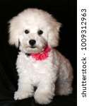 purebred bichon frise puppy 5... | Shutterstock . vector #1009312963
