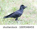 Jungle Crow  Corvus...
