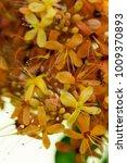 Small photo of Saraca thaipingensi, yellow flower, orange flower