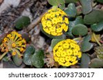 Small photo of Coastal sand-verbena, Yellow sand-verbena, Abronia latifolia, mat-forming herb with succulent leaves in whorls and yellow flowers in rounded clusters.