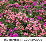 this flower is very beautiful ... | Shutterstock . vector #1009393003