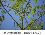 leaf of bombax ceiba tree with... | Shutterstock . vector #1009417177