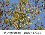 leaf of bombax ceiba tree with... | Shutterstock . vector #1009417183