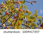 leaf of bombax ceiba tree with... | Shutterstock . vector #1009417357