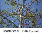 leaf of bombax ceiba tree with... | Shutterstock . vector #1009417363