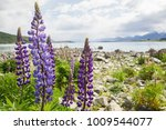 close up purple lupin flower in ... | Shutterstock . vector #1009544077