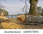 A Large Tree That Has Been Cut...