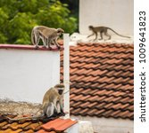 Small photo of Part of a troop of black faced vervet monkeys have ventured away from trees near Lake Victoria, to nearby urban rooftops. One is lookout while others play and explore. Can be pests in built up areas.
