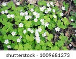 "Small photo of ""hare cabbage"" -wood sorrel (Oxalis acetosella) blossoms in the wood in the early spring"