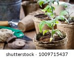 young tomato seedling sprouts... | Shutterstock . vector #1009715437