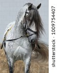 Small photo of Light gray horse with long dark gray forelock. Horse ammunition for training on cord.