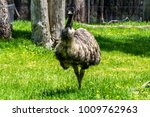 Emu  The Large Flightless...