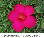 bright pink large flower of... | Shutterstock . vector #1009775443