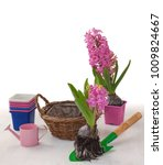 planting pink hyacinths with... | Shutterstock . vector #1009824667