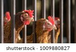 poultry in cage in henhouse.... | Shutterstock . vector #1009880827